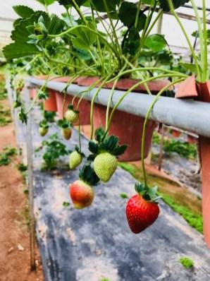 Starwberry farm