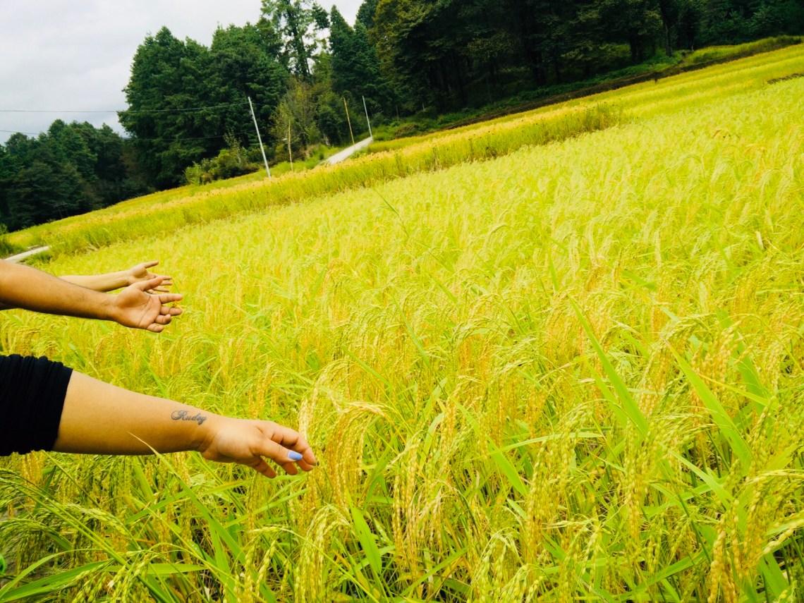 Swaying Rice Paddy Fields in ZIRO.