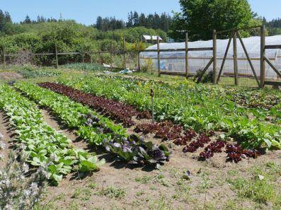 The Bayview Garden at the Big ACRE, already growing veggies!