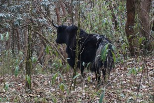Yaks abound in these woods