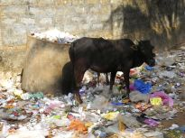 A side street in Gokarna, a beautiful pilgrimage town on the west coast. Plenty of plastic for the animals….