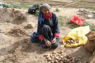 Grandma digging up her potatoes from last winter's storage