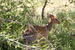 The dik-dik, a very tiny antelope