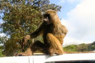 A monkey is trying to get into our car and freaking Martha out!