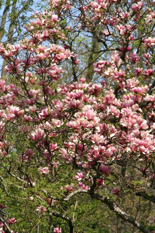 Lush magnolias...here today, gone tomorrow