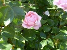 Regent's Park - Roses