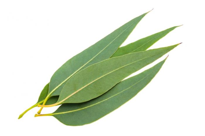 11 All Natural Joint Pain Relief Remedies - Eucalyptus