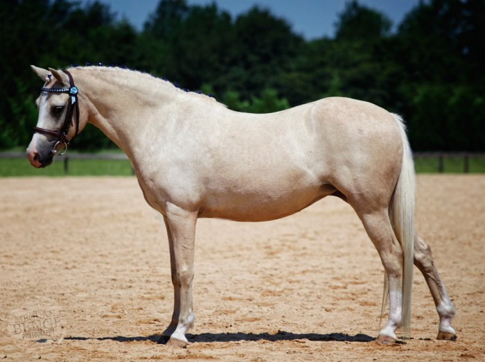 Allie, Welsh pony