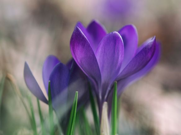 Crocus by Aaron Burden