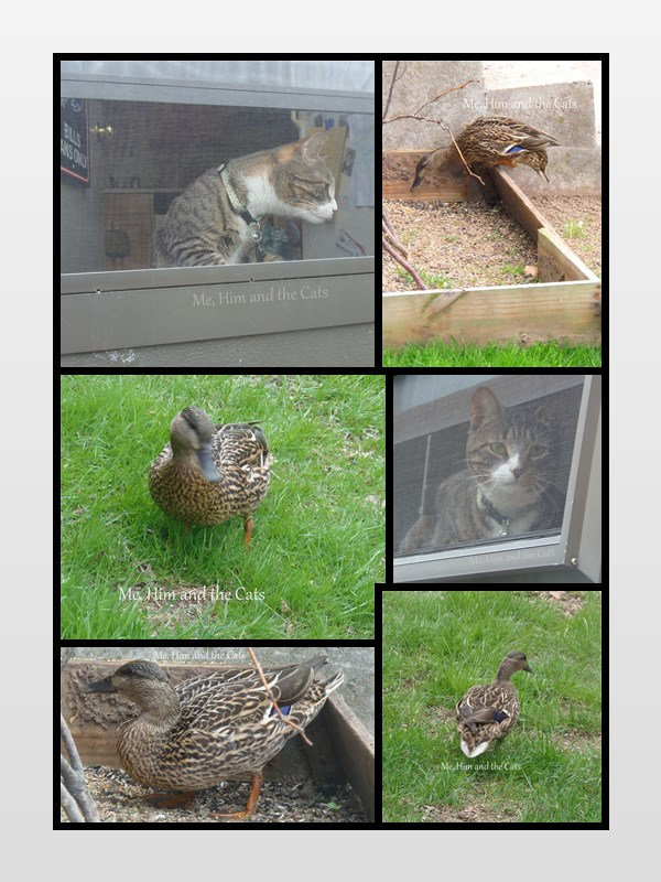 wordless wednesday duck collage