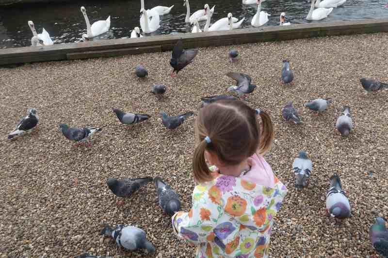 Wroxham pidgeons