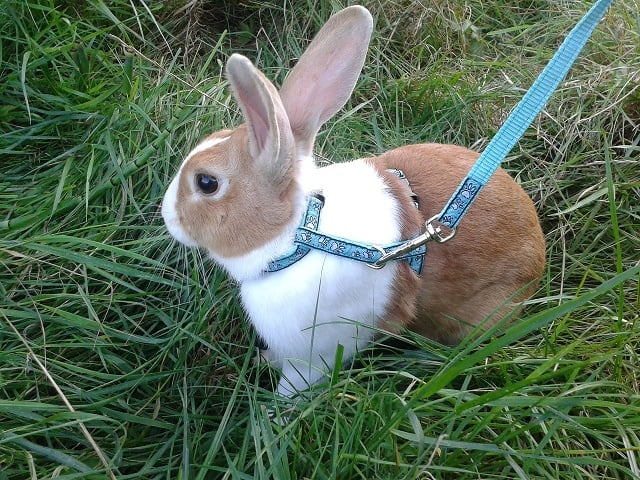Flopsy going for a walk
