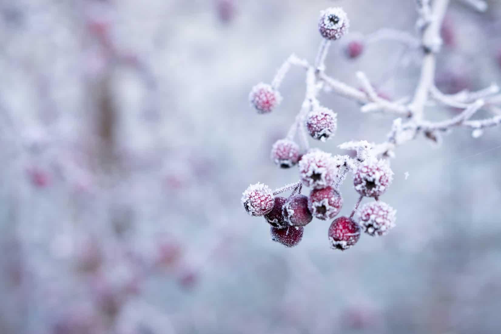 Frozen berries in garden
