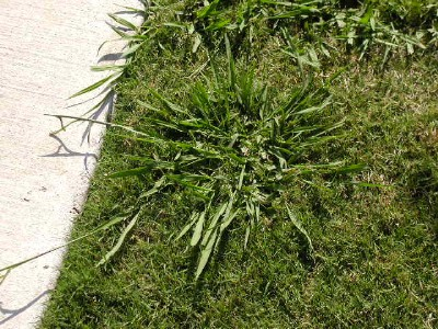 Image result for dallisgrass in pavement