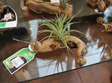 Tillandsia Plant – $11.49 (we also have a wide variety of succulents starting at $3.99!)
