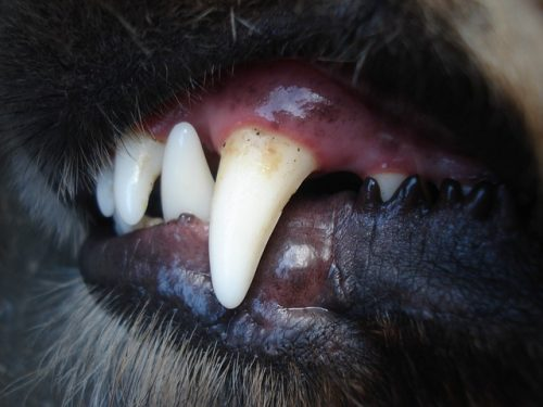 Chihuahua Zahnprobleme