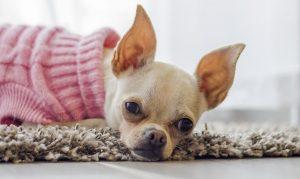 Verengte Luftröhre_Säbelscheidentrachea_Trachealkollaps_Hund_Chihuahua