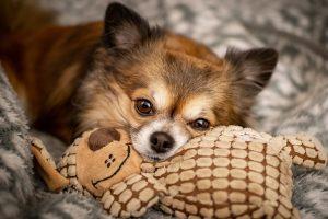 Chihuahua Entspannung Hund Stressabbau