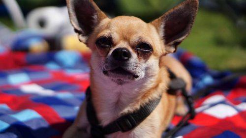 Chihuahua Welpe Hund