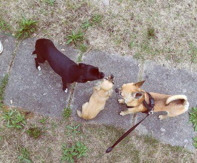 CHihuahua Hund Welpe