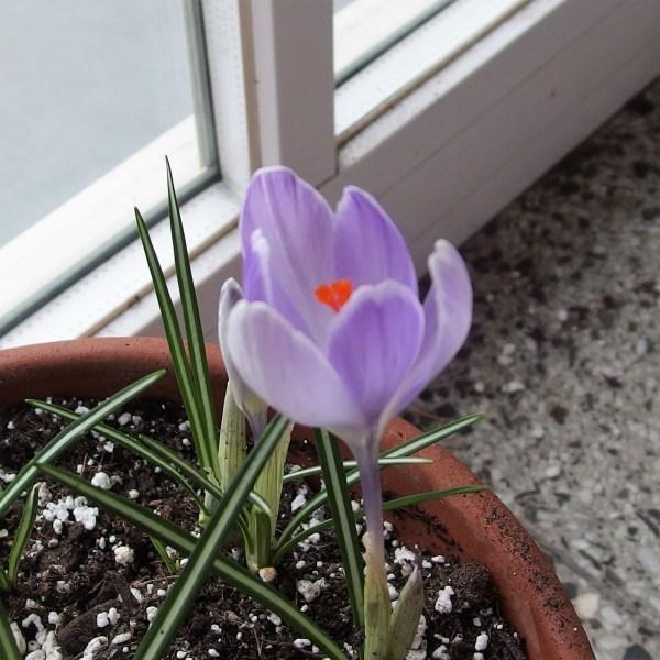 Der Frühlingskrokus