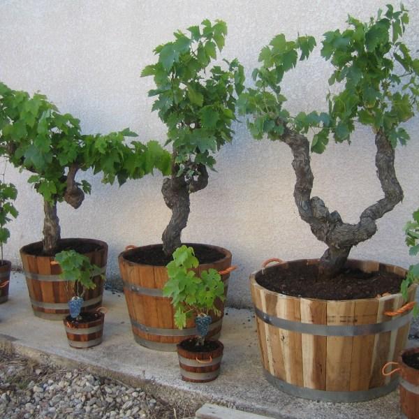 Wein auf dem Balkon anbauen