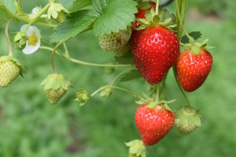 Alle lieben die Erdbeere im Gemüsegarten