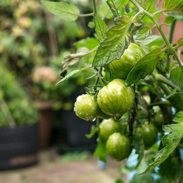 Ein Gemüsegarten auf dem Balkon: 7 Pflanzen für den Anfang – Podcast