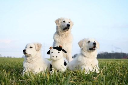 Herdenschutzhunde im Dienst :)