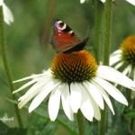 Mein Gartentipp: Echinacea