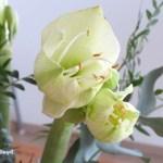 Friday Flowerday – meine erste Amaryllis