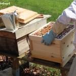 Großer Bienenumzug