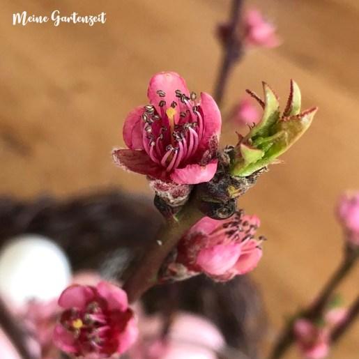 Pfirsich-Blüte für zu Hause