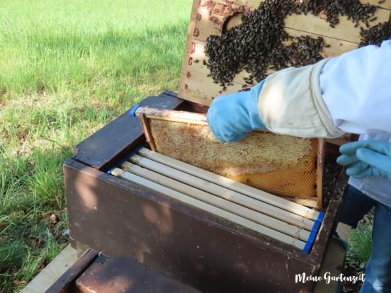 Bienenschwarm bekommt ein zu Hause
