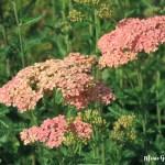 Mein Gartentipp: Schafgarbe (Achillea)