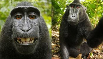 Selfie do Macaco ainda rende rolos judiciais