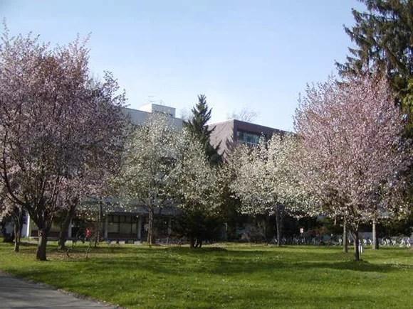 大学の桜 (3)