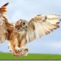 Owls 貓頭鷹