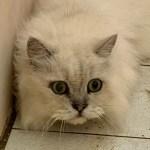桃園市議員謝美英貓咪救援送養37