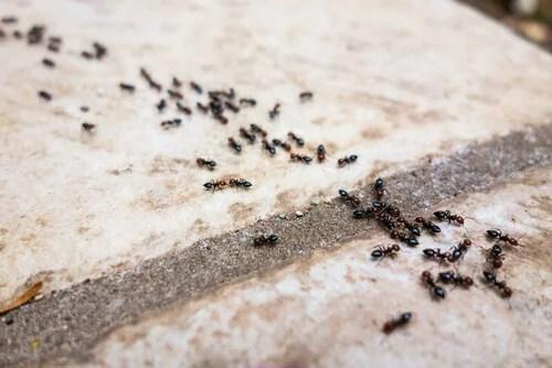 Formas de usar talco de bebé en tu hogar: repeler las hormigas