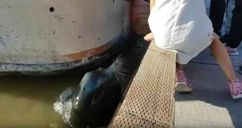 un-leon-marino-arrastra-con-la-boca-a-una-nina-en-un-muelle-de-canada