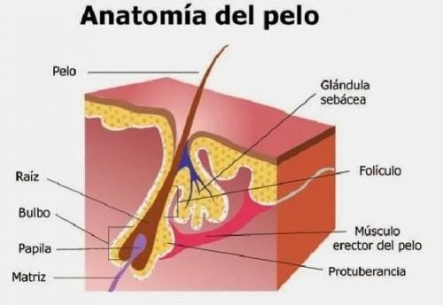 Anatomía del cabello.