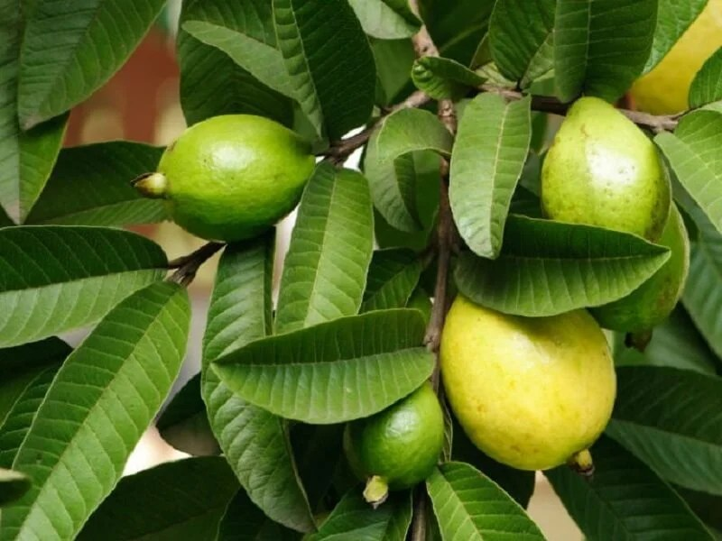 hojas-guayaba