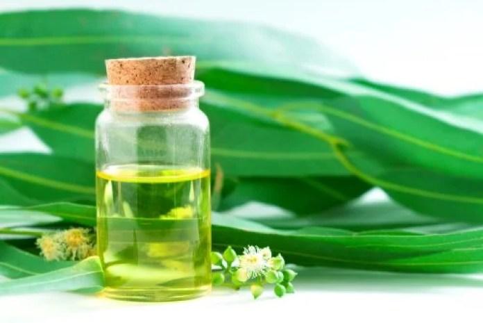 Hojas y aceite esencial de eucalipto