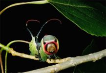 puss-moth-caterpillar-kids-672701_15360_600x450