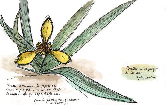 Honduras 2015 - Orchidée