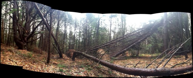 Trees down along the Kitchen Brook trail in our backyard, thanks to Hurricane Sandy