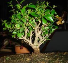 Ikea bonsai