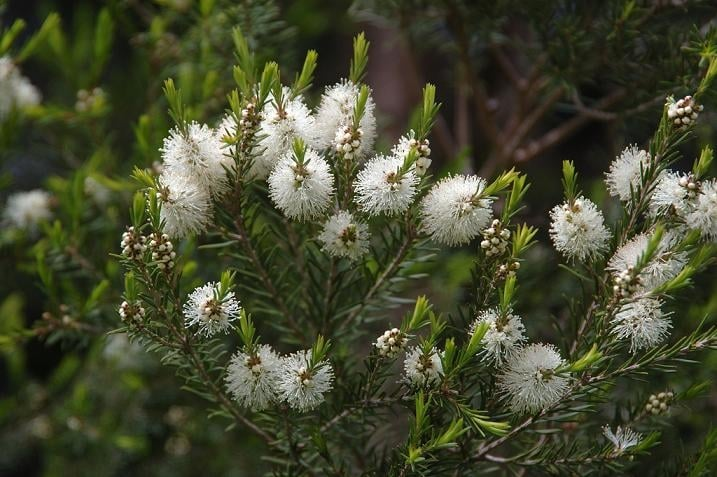 TEA TREE OIL: un rimedio naturale universale