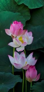 lotus-2-2